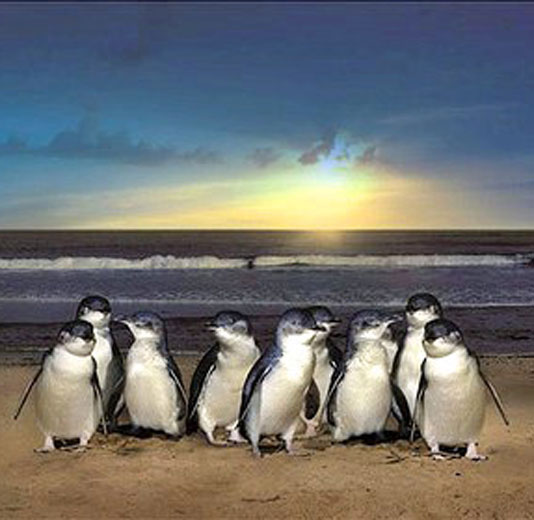 Little Blue Penguins on the beach in front of a sunset